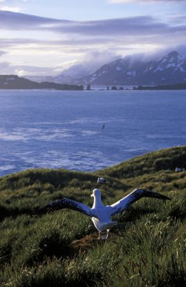 Young wandering Albatross. South Georgia Island