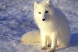 Arctic fox. Churchill, Canada
