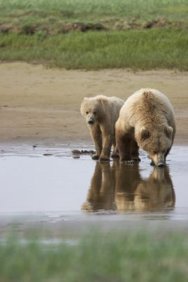 Brown Bear Sow with Cub