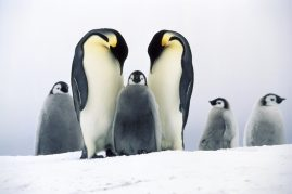 Emperor penguin adults with chick. Antarctica