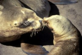 Hooker Sea Lions. New Zealnand