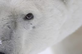 Polar bear up close. Churchill, Canada