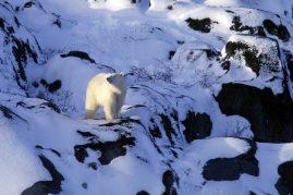 Polar bear in the rocks. Churchill, Canada
