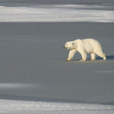 Polar Bear walking on ice. Churchill, Canada