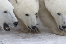 Polar bear sow and cubs. Churchill, Canada