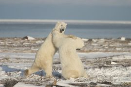 Sparing polar bears. Churchill, Canada