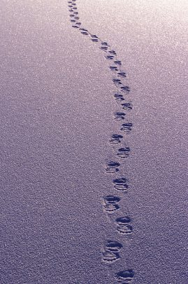 Polar bear tracks in fresh snow, Churchill, Canada