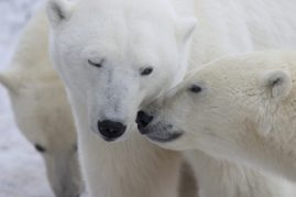 Polar bear sow and cub. Churchill, Canada