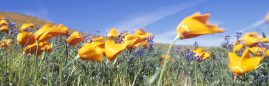 California poppy's blowing in the wind, California