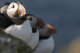 Puffins huddle together. Scotland