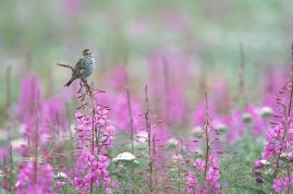 Savanah sparrow on fireweed, Seward, AK