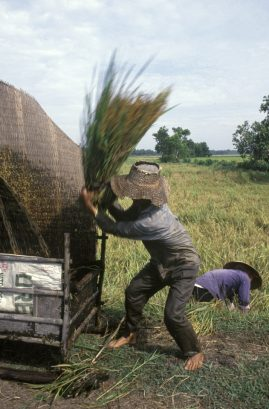 Harvesting rice. Vietnam