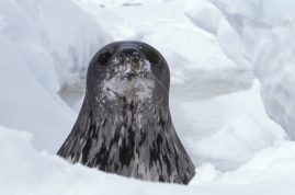 Weddell seal pup surfaces from an air hole. Weddell Sea, Antarctica